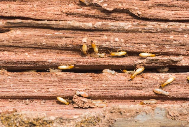 Preventing Termites in Your Wooden Deck: A Homeowner's Survival Guide